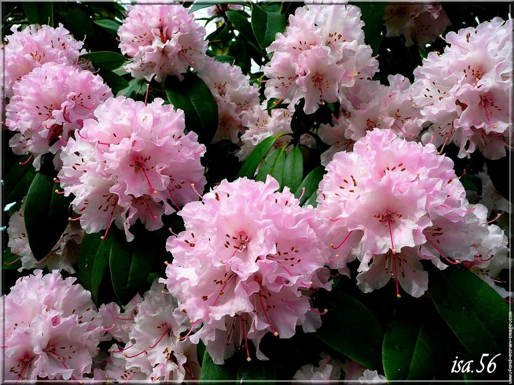 rhododendron visible actuellement en Bretagne
